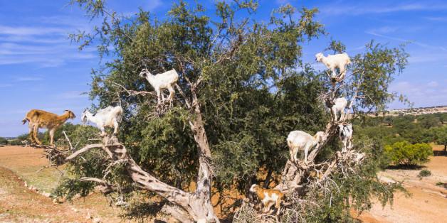 Pourquoi les chèvres qui grimpent dans les arganiers aident (sans le savoir) les agriculteurs