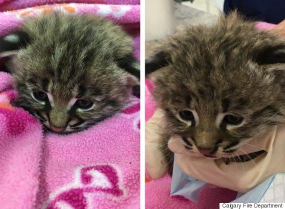 bobcat kittens