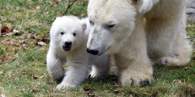 MUNICH, GERMANY - FEBRUARY 24: Baby polar bear Q seen with mother bear Giovanna seen at Hellabrunn Zoo, on February 24, 2017 in Munich, Germany. 