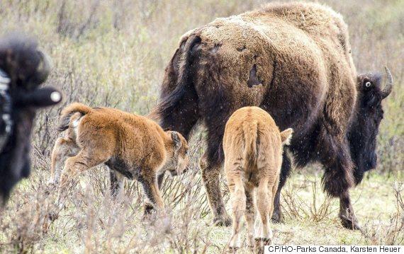 banff bison