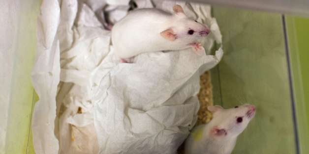 This picture taken on January 23, 2014 shows mice in a box at the Neurosciences rechearch Center CERMEP in Bron, near Lyon.  AFP PHOTO / PHILIPPE MERLE        (Photo credit should read PHILIPPE MERLE/AFP/Getty Images)