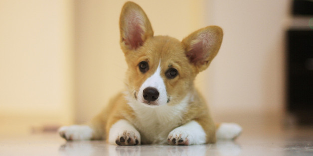 Corgi puppy with a curious expression
