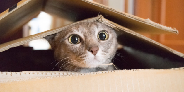 Cat looking startled and surprised while plays hide and seek in a box.