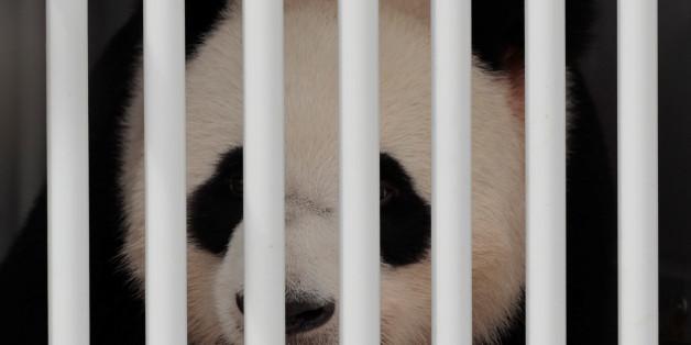 Jiao Qing, a panda bear, arrives at the Berlin airport in Berlin, Germany, June 24, 2017.    REUTERS/Axel Schmidt