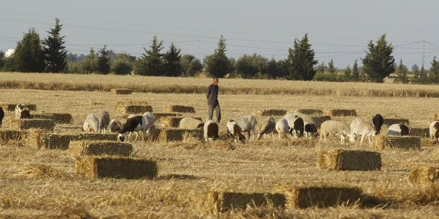 A shepherd walks with his sheep in a field of wheat, after reaping wheat in Tunis June 18, 2014. REUTERS/Zoubeir Souissi (TUNISIA - Tags: AGRICULTURE SOCIETY ANIMALS)