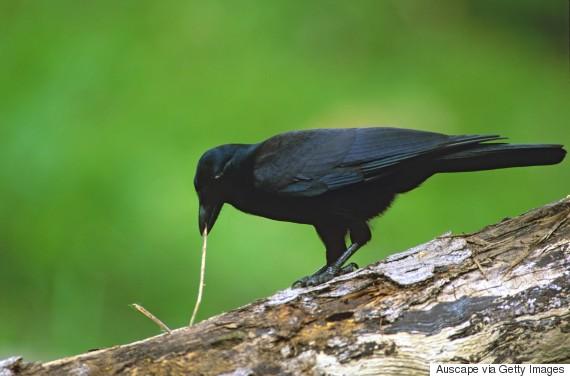crow tool