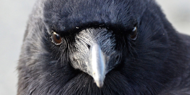 Portrait of an adult crow