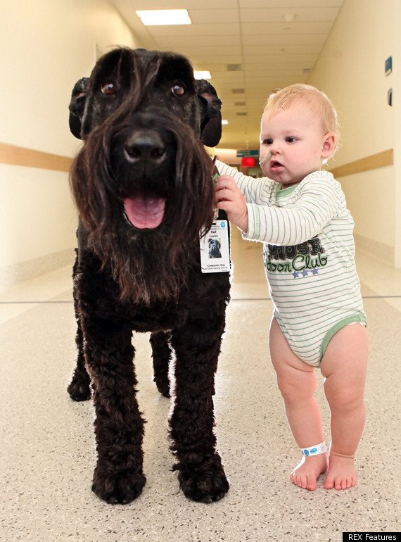 Schnauzer Dog Doctor Ralf Is Patients' Best Friend At Royal Children's Hospital In Melbourne