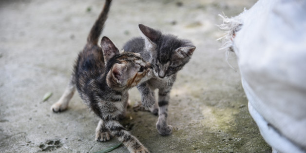 Stray cat puppies playing and discovering life in Artaki, on Euboea on July 14, 2017(Photo by Wassilios Aswestopoulos/NurPhoto via Getty Images)