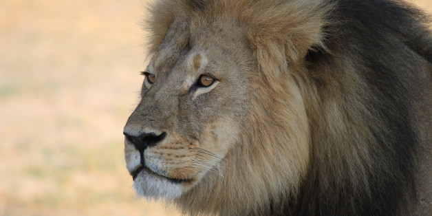 Cecil the Lion was killed by a hunter in July 2015.  This image was taken the previous year while he was still the king of his pride.