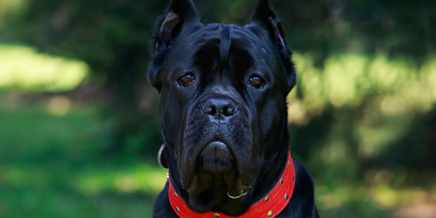 The dog breed italiano cane corso on a green grass