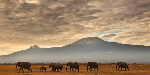 A herd of elephants walk in front of Mount Kilimanjaro in Amboseli National Park on November 3, 2016.  / AFP / CARL DE SOUZA        (Photo credit should read CARL DE SOUZA/AFP/Getty Images)
