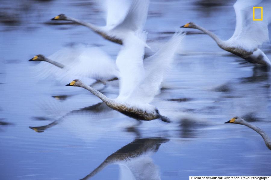 swans japan