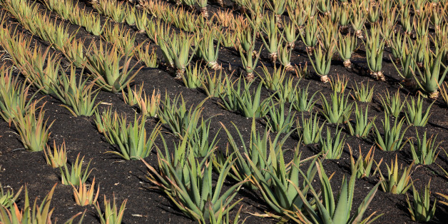 Aloe Vera Plantation at Orzola, near Haria, Lanzarote, Canary islands, canaries, spain. (Photo by: Bildagentur-online/UIG via Getty Images)
