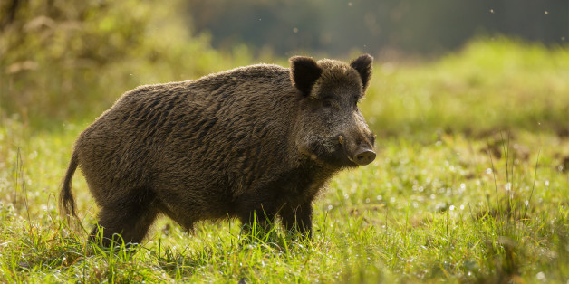 Wild boar foraging for apples during indian summer in Germany