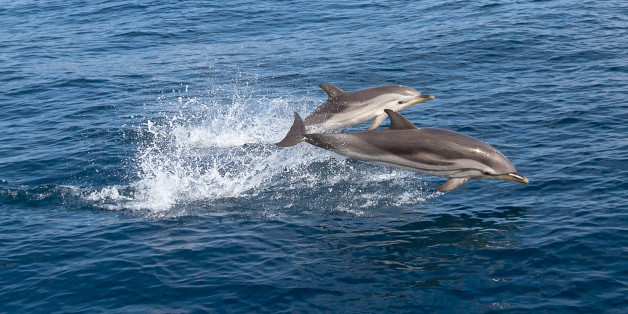 A pair of wild Stenella coruleoalba (common striped dolphin) jumping out of water in front of the coast of Vilanova i la Geltru, Barcelona, Spain.