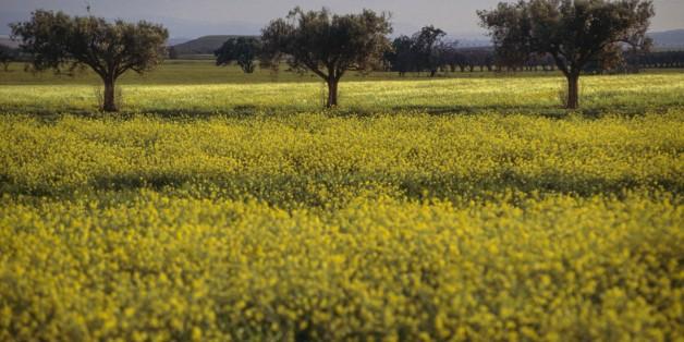 ALGERIA - MARCH 18: Rape field and trees, near Beni Saf, Algeria. (Photo by DeAgostini/Getty Images)