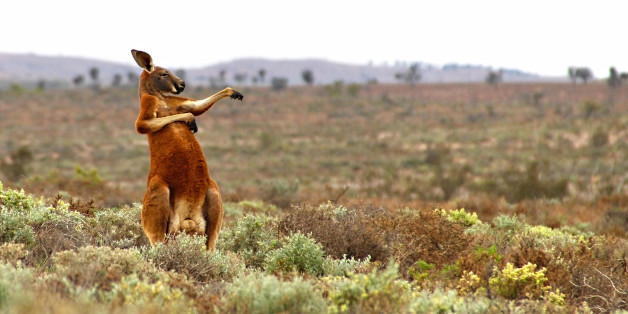 *** EXCLUSIVE ***  FOWLERS GAP, AUSTRALIA - AUGUST 16, 2013: A red kangaroo starts his day with some martial arts in Andrey Giljov's 'Kung Fu Training - Australian Style' taken on August 16, 2013 in Fowlers Gap, Australia.  The Comedy Wildlife Photography Awards are in full swing, so check out some of the fierce competitors jostling for the top prize this year. Photographers Paul Joynson-Hicks MBE and Tom Sullam founded the awards to spotlight wildlife conservation efforts and to inject some humour into the world of wildlife photography.  PHOTOGRAPH BY Andrey Giljov / CWPA / Barcroft Images  London-T:+44 207 033 1031 E:hello@barcroftmedia.com - New York-T:+1 212 796 2458 E:hello@barcroftusa.com - New Delhi-T:+91 11 4053 2429 E:hello@barcroftindia.com www.barcroftmedia.com (Photo credit should read Andrey Giljov / CWPA / Barcroft / Barcroft Media via Getty Images)