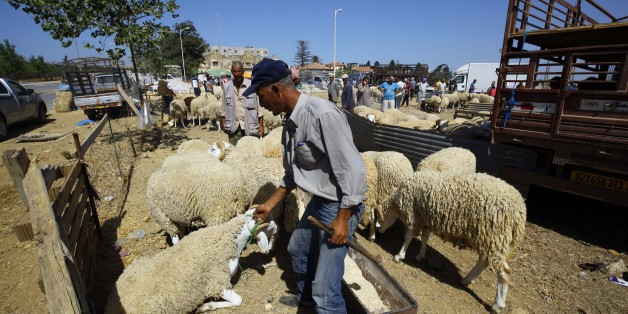 An Algerian vendor wait for customers at a livestock market in preparation for the upcoming Muslim Eid al-Adha holiday or Feast of the Sacrifice, in Algiers, Algeria on Sept. 8, 2016. Eid al-Adha, or Feast of Sacrifice, commemorates what Muslims believe was Prophet Ibrahim's willingness (Abraham to Christians and Jews) to sacrifice his son. It is a festive holiday where it is traditional for men, women and children to dress in new clothing and spend time with their families outdoors. (Photo by B