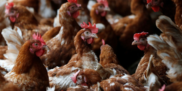 Hens are pictured at a poultry farm in Wortel near Antwerp, Belgium August 8, 2017. REUTERS/Francois Lenoir
