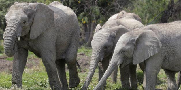 Un chasseur d'éléphants tué par un éléphant