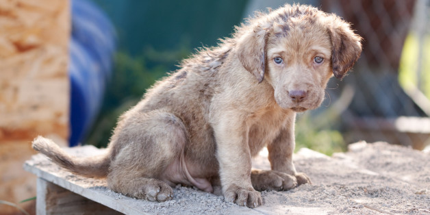 Chesapeake Bay Retriever puppy about 5 weeks old.