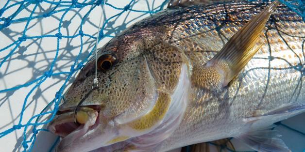 Dentice (Dentex Dentex). Mediterranean Snapper. Poseidon Charter. www.poseidonfishing.net. Isola Rossa (Red Islet). Trinitš d'Agultu. Sardinia. Italy. Europe. (Photo by: Enrico Spanu/REDA&CO/UIG via Getty Images)