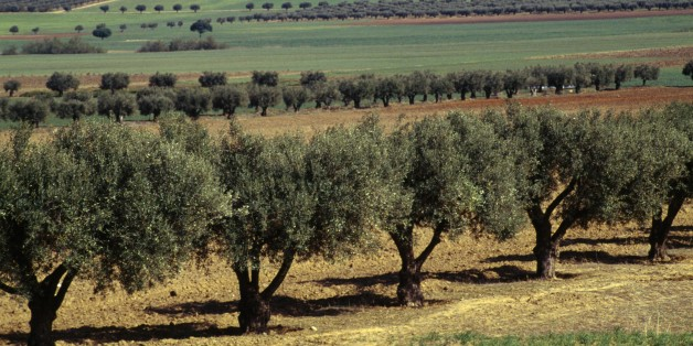 ALGERIA - MARCH 18: Olive trees, between Sidi Bel Abbes and Sfisef, Algeria. (Photo by DeAgostini/Getty Images)