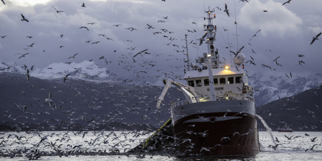A fishing boat collecting it's net which is full of herring. Sea gulls hover around ready to pounce on the herring being brought up by the nets.