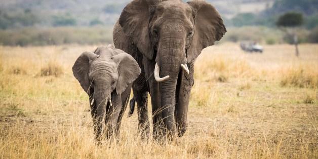 NAIROBI, Aug. 30, 2017 -- Two elephants walk at the Maasai Mara National Reserve, Kenya, Aug. 28, 2017. (Xinhua/Lyu Shuai via Getty Images)