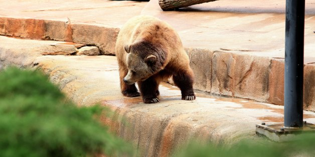 MILWAUKEE, WI -  JUNE 08:  A Grizzly Bear Cub, looks for food at the Milwaukee County Zoo on JUNE 08, 2013.  (Photo By Raymond Boyd/Getty Images)