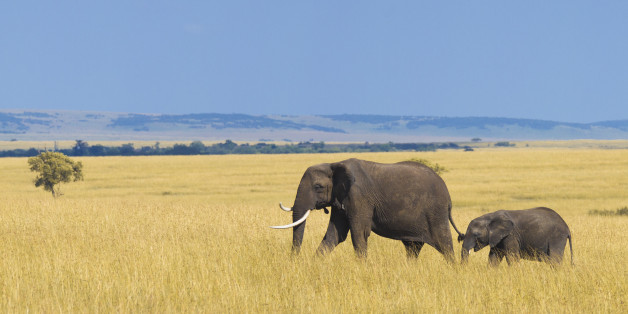 African elephant with calf in the savannah.