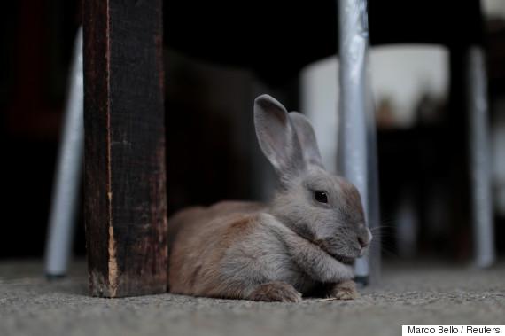 venezuela rabbit