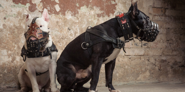 Two thoroughbred dogs: black american pit bull and white bull terier in muzzles seatting over scraped wall background
