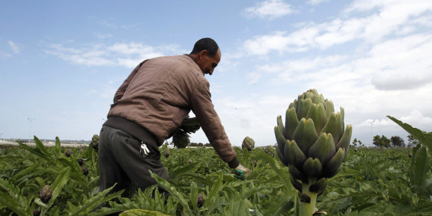A farmer harvests artichokes in a field in Boumerdes city, east of Algiers April 23, 2013. The farmers earn on average $12 a day. Picture taken April 23, 2013. REUTERS/Louafi Larbi (ALGERIA - Tags: AGRICULTURE BUSINESS EMPLOYMENT)