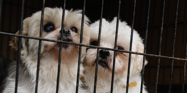 TORONTO, ON - FEBRUARY 2:  2 shih tzu s  that were rescued from a puppy mill cuddle in their cage  as the truck arrives at HS on February 2nd 2013.....Twenty puppies,including two who were found abandoned in a snowbank last night arrived in Toronto Humane Society on River st today  from Montreal where they are being saved from euthanization after a humane society supplier offered to pay the $800 bill to transport them...the puppies were put in their cages and given those who didnt have them were