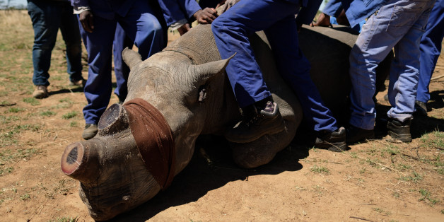 UNSPECIFIED, SOUTH AFRICA - OCTOBER 16:  A sedated and blindfolded black rhino is held in place after having it's horn trimmed, at the ranch of rhino breeder John Hume, on October 16, 2017 in the North West Province of South Africa. John Hume is currently the owner of around 1500 white and black rhinos, which he keeps under armed guard on his 8000 hectare property. In a bid to prevent poaching and conserve the different species of rhino, the horns of the animals are regularly trimmed, with 264 of the off-cuts recently being placed on sale at auction. The controversial decision to sell the horns was made on the basis that the illegal market creates an inflated value, while a controlled system would lower the prices and the need to poach. Mr Hume believes that the only way to ensure that the rhino does not become extinct is through farming the animals on a large scale and legalising the sale of rhino horn globally.  (Photo by Leon Neal/Getty Images)