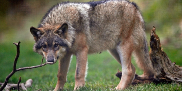 A captive wolf is seen in the Alpha wolf wildlife park in Saint Martin Vesubie, October 17, 2006. Carter Niemeyer, a world-known U.S trapper and wolves specialist, will try to trap from one to three wild wolves and will use a transmitting device to learn about the movement of the wolves in Mercantour regional park  where attacks of free wolves have killed several sheep in southeastern France each year.     REUTERS/Eric Gaillard (FRANCE)