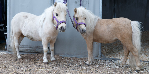 Grausame Tierquäler verkleben zwei Ponys die Beine - Symbolbild (Photo by Robert Perry/Getty Images)