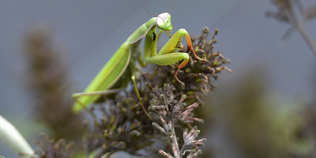A picture taken on September 29, 2017 shows praying mantis at the Varieties Study Sector (Secteur d'Etude des Varietes - SEV) of the Group of Study and control of varieties and seeds (Groupe d'Etude et de controle des Varietes Et des Semences - Geves) in Brion, western France. 