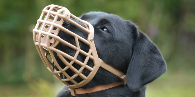 A muzzled dog prevents the animal from biting, but in this case prevents the labrador from eating unwanted items.