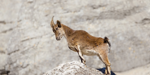 Spanish Ibex (Capra pyrenaica) stood upright with head bowed, on a rock, against a blurred natural background, Andalucia, Spain