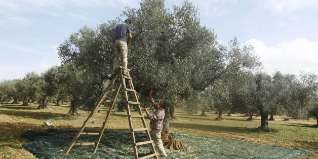 Men pick olives from a tree during the olive harvest in Sidi Tabet, near Tunis November 13, 2012. REUTERS/Zoubeir Souissi    (TUNISIA - Tags: AGRICULTURE FOOD)