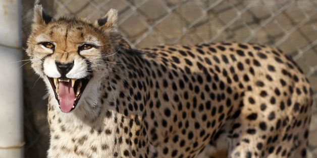 A female Asiatic Cheetah named 'Dalbar' snarls in an enclosure at the Pardisan Park in  Tehran on October 10, 2017.Iranian environmentalists have mobilised to protect the world's last Asiatic cheetahs, estimated to number just 50 and faced with the threats of becoming roadkill, a shortage of prey and farmers' dogs.  / AFP PHOTO / ATTA KENARE        (Photo credit should read ATTA KENARE/AFP/Getty Images)