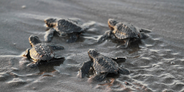 Baby turtles crawl into the sea on Astillero Beach, some 100 km (70 miles) south of the capital, January 21, 2011. Around 40,000 turtles hatched in the past five days were freed at the Chacocente nature reserve. Only ten percent of them are expected to survive to become adults. Picture taken January 21, 2011.   REUTES/Oswaldo Rivas    (NICARAGUA - Tags: SOCIETY ANIMALS ENVIRONMENT IMAGES OF THE DAY)