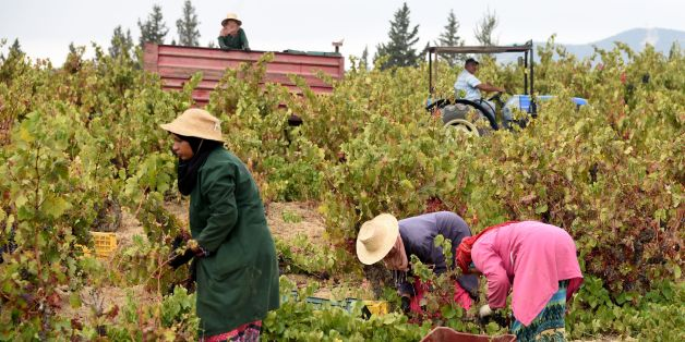 Tunisian women harvest grapes at the Neferis vineyard in the wine-producing region of Grombalia, some 40 kilometres (25 miles) southeast of the capital Tunis, on September 16, 2016. The ancient culture of winemaking is undergoing something of a revival in this overwhelmingly Muslim-majority country which has a reputation of being one of the most liberal in the Arab world.  / AFP / FETHI BELAID / TO GO WITH AFP STORY BY GUILLAUME KLEIN        (Photo credit should read FETHI BELAID/AFP/Getty Image