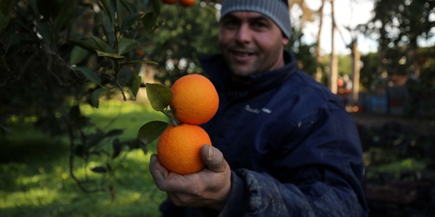 "Harvest of oranges at Boufarik in Algeria on January 13, 2018. Boufarik in the plain of Mitidja is the city of Oranges ""because of the many plantations of oranges and mandarins.Men picking oranges in a plantation. (Photo by Billal Bensalem/NurPhoto via Getty Images)"