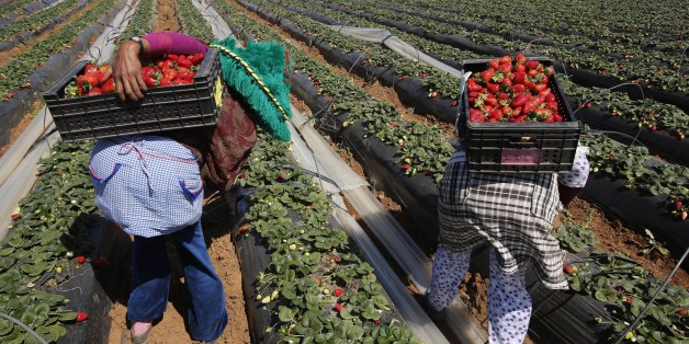 Farmers pick strawberries, to be exported, in a field in the town of Moulay Bousselham in Kenitra province March 15, 2014. The local strawberry growers use the multi-layers planting method to gain two times more strawberries than usual. REUTERS/Youssef Boudlal (MOROCCO - Tags: AGRICULTURE BUSINESS)