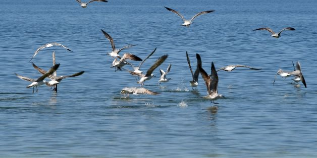A picture taken on April 15, 2016 shows migratory seabirds catching fish on the Tunisian island of Kerkennah.   / AFP / FETHI BELAID        (Photo credit should read FETHI BELAID/AFP/Getty Images)