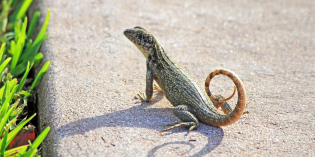 This little reptile is native to the Bahama Islands, the Cayman  Islands, Cuba, and Honduras. In an attempt to control sugar cane pest it was intentionally released in Palm Beach in the 1940s and has thrived successfully in surrounding areas. This was photographed in Stuart, Florida.